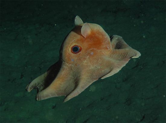Estranho Polvo-Dumbo a 7km de profundidade - Img 1