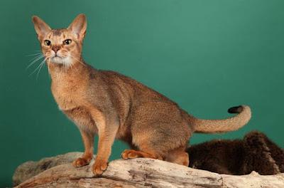 Karakter Kucing Sailan