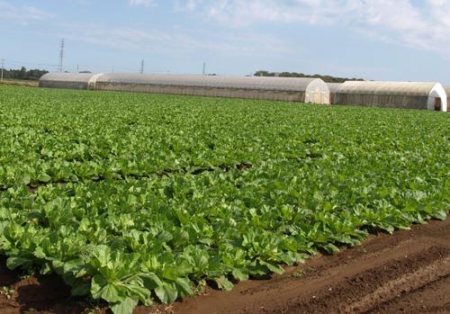 Tuyển 9 nữ làm công việc nông nghiệp trồng rau tại Kagoshima tháng 7 năm 2019