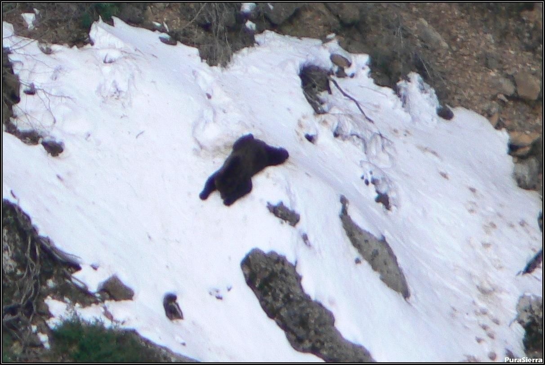 Oso tumbado en la nieve (Rincón Del Buitre, El Hosquillo)