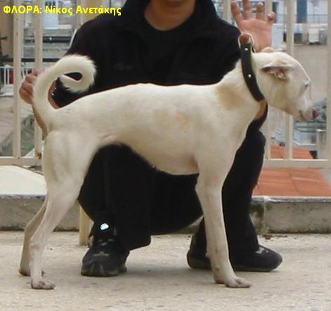 ΚΡΗΤΙΚΟΣ ΛΑΓΩΝΙΚΟΣ (Cretan Hound) ΦΥΛΕΤΙΚΟ ΠΡΟΤΥΠΟ (Breed Standard) K. O .E 2003
