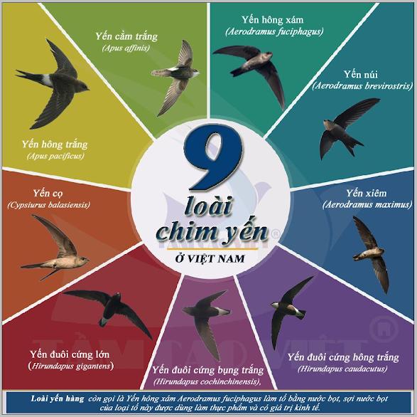 Hình 2: 9 loài chim yến ở Việt Nam