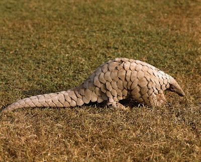 Pangolín indio (Manis crassicaudata)