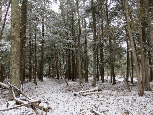 hemlock trees with snow
