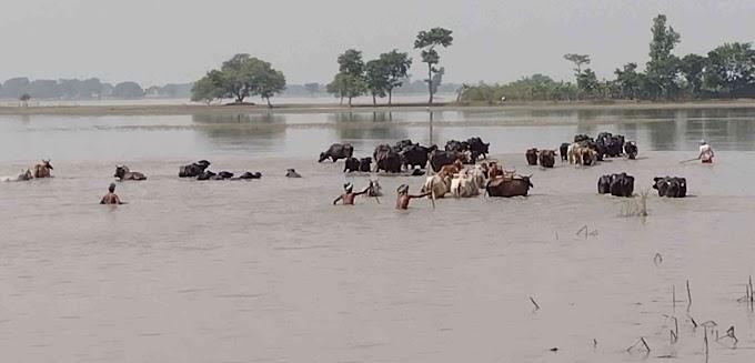 बाढ़ में बेजुबान पशुओं की भूख मिटाना चुनौती है
