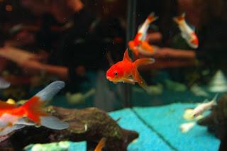 japon balığı açlığa ne kadar dayanır