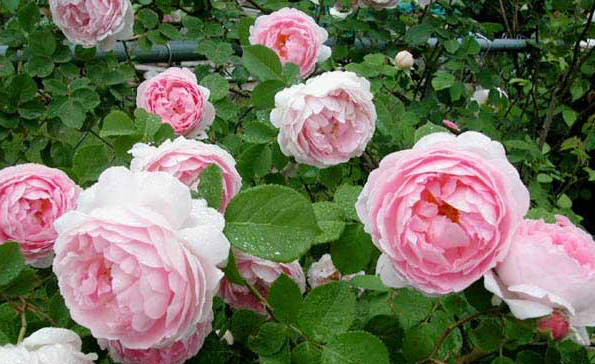 hoa hồng leo thiên hương