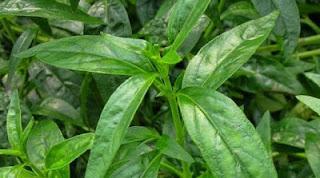 obat herbal untuk kencing keluar nanah