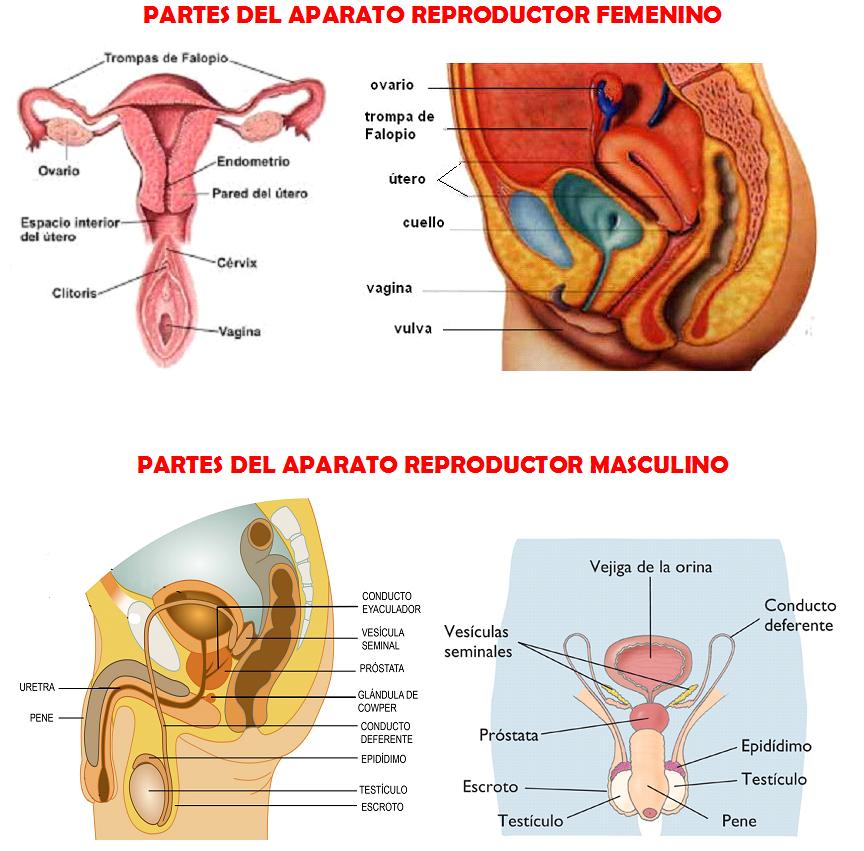 Excelente Humanos Imágenes Del Sistema Reproductor Masculino ...