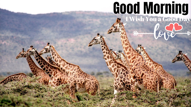 Beautiful Good Morning Images with Giraffe