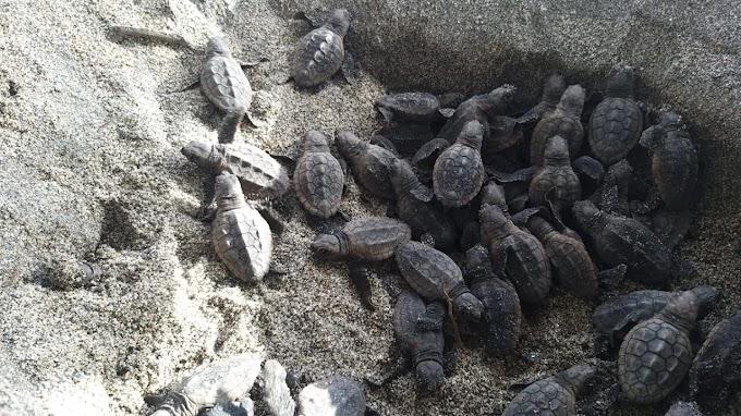 Nacen 105 neonatos de tortuga Caretta Caretta en el Parque Nacional Natural Tayrona