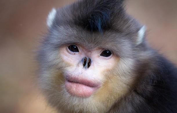 Real Animals Snub-Nosed Monkey