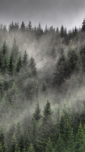 Forest, nature, fog, trees, spruce