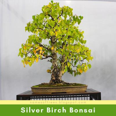 Silver Birch Bonsai