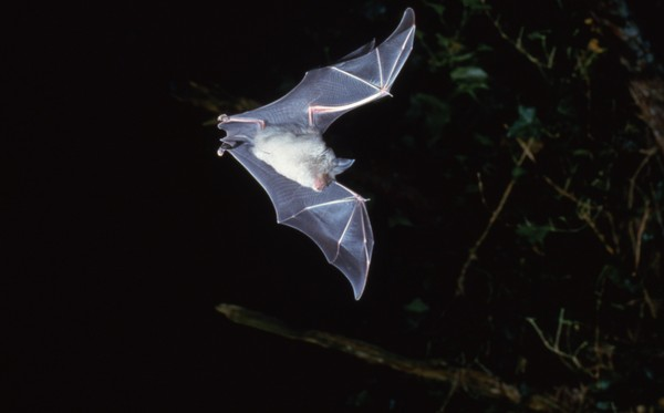 Devon Wildlife Trust. Greater Horseshoe Bat in flight - Photo copyright Frank Greenaway (All Rights Reserved)