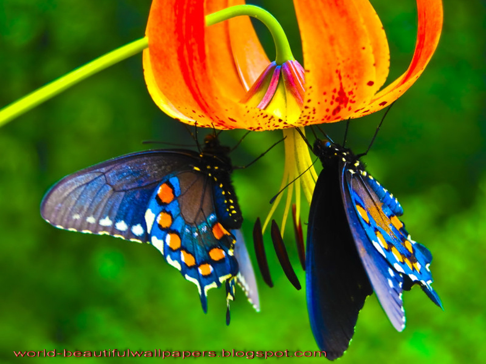 Beautiful Wallpapers: Beautiful Butterflies Wallpaper