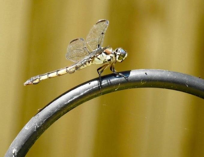 Las Libélulas son nuestras amigas: solo una puede comer cientos de mosquitos al día