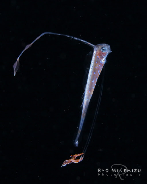 larval Oarfish 25mm