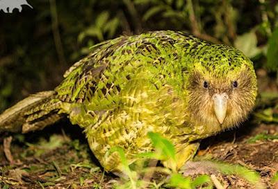 Kakapo Salah Satu Jenis Parrot Tidak Bisa Terbang dan Nokturnal