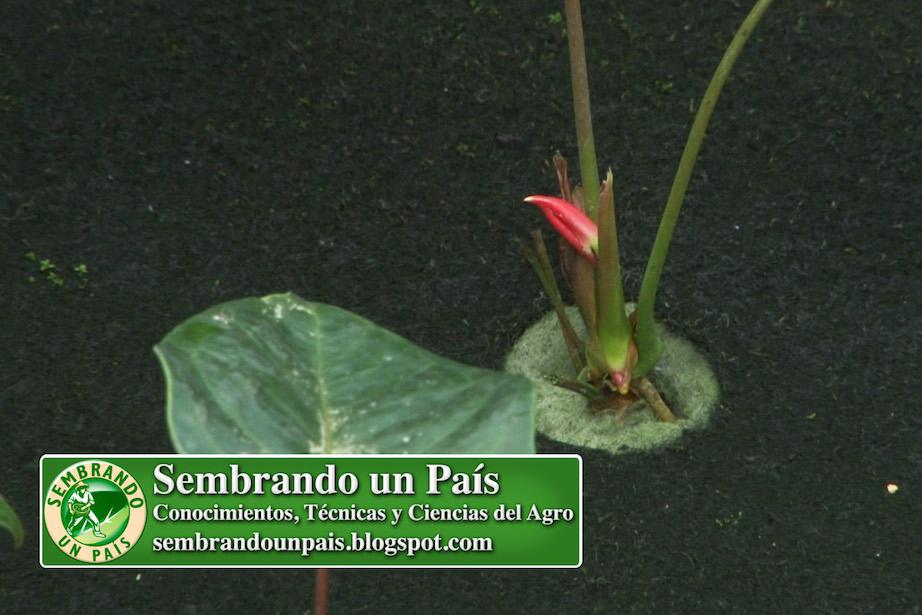 flor del anthurium brotando