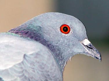 essay on pigeon in hindi