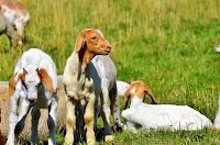 cara ternak kambing etawa, usaha ternak kambing etawa, kambing etawa, bisnis kambing etawa, tips ternak kambing etawa, budidaya kambing etawa, kambing