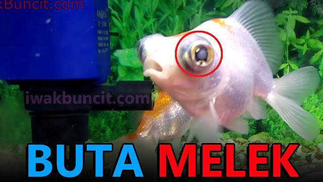 2 Penyebab Mata Ikan Mas Koki Buta yang Wajib Kamu Waspadai