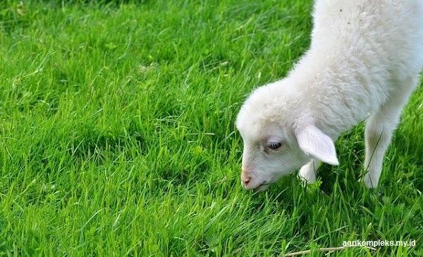 Bahan Pakan Ternak Domba