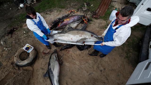 Cientos de delfines muertos aparecen en las costas de Francia