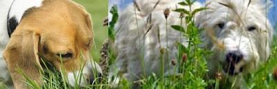Köpekler-neden-çim-yer