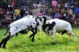 kambing jantang dengan kambing jantang berkelahi dalam memperbutkan pasangan kawinnya.