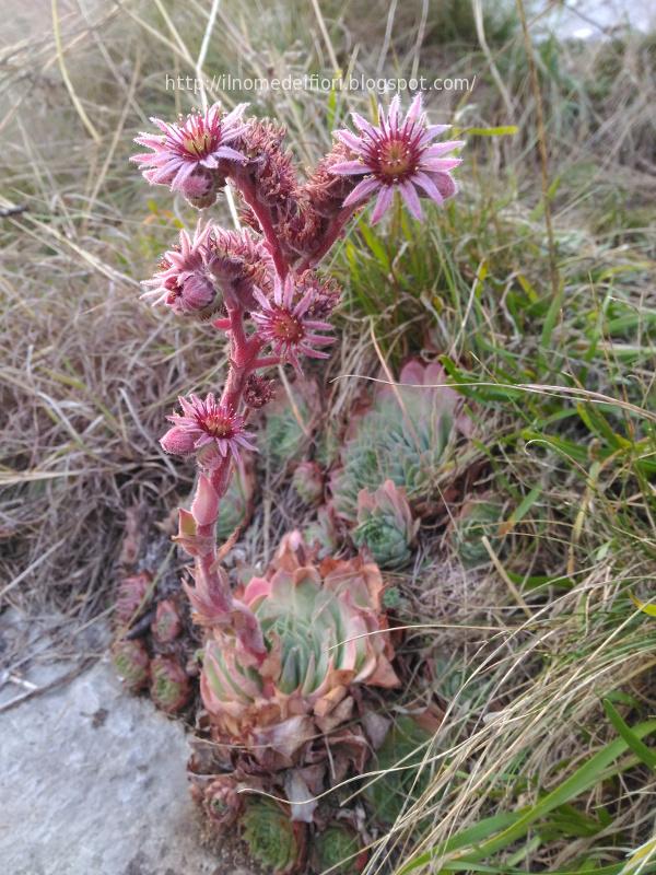 In nome dei fiori sempervivum tectorum pianta grassa dai for Fiori che sbocciano