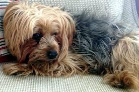 anjing yorkshire terrier wataknya ramah dan tenang di apartemen