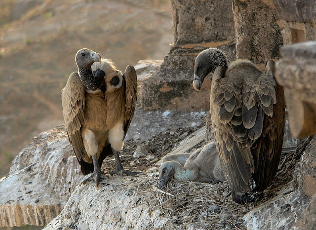 Indian Long Billed Vulture, indian vulture, vulture population in india