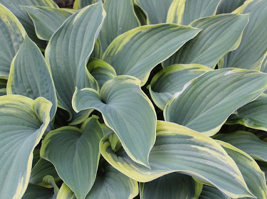 Variegated Hosta Closeup