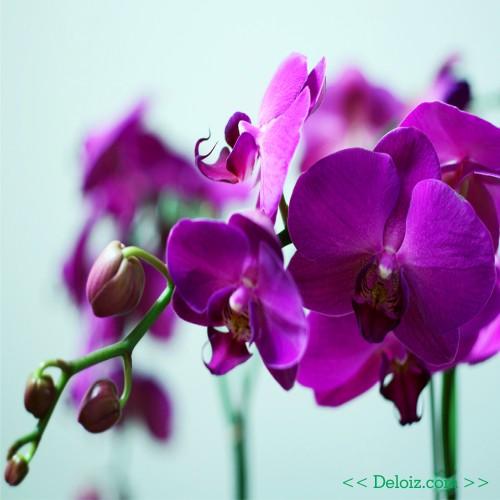DP BBM Bunga Anggrek