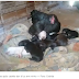 MUNDO ANIMAL: Galinha 'adota' oito filhotes de cadela após animal dar à luz em ninho.