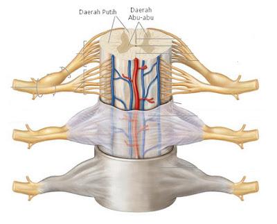 makalah sistem saraf tepi  sistem saraf tepi pada manusia  sistem saraf tepi ppt  sistem saraf pusat  sistem saraf sadar  anatomi sistem saraf tepi  sistem saraf otonom  sistem saraf somatik