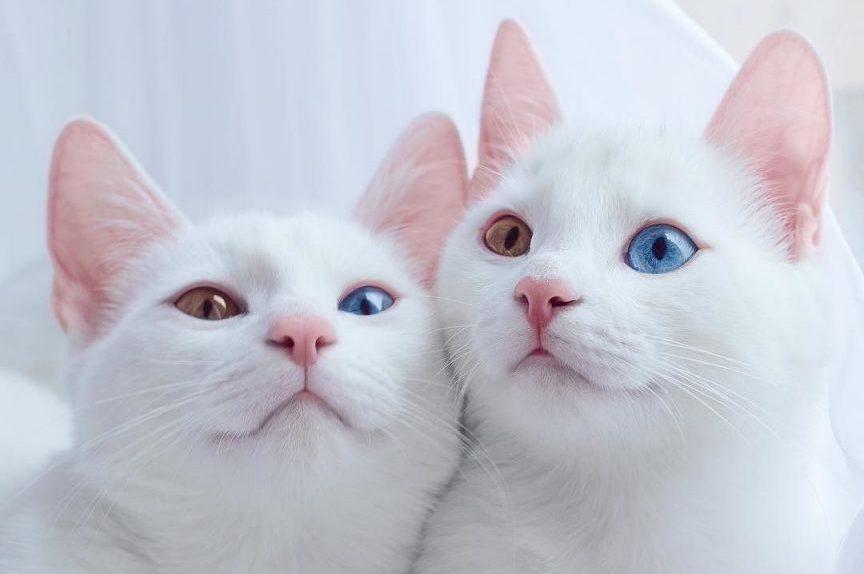Conoce A Khao Manee El Gato Ojo De Diamante Que Te Cautivará Oxitocina Magazine Revista De Mascotas En Panamá