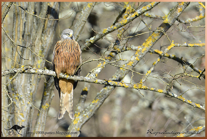 the Red kite's royal dance