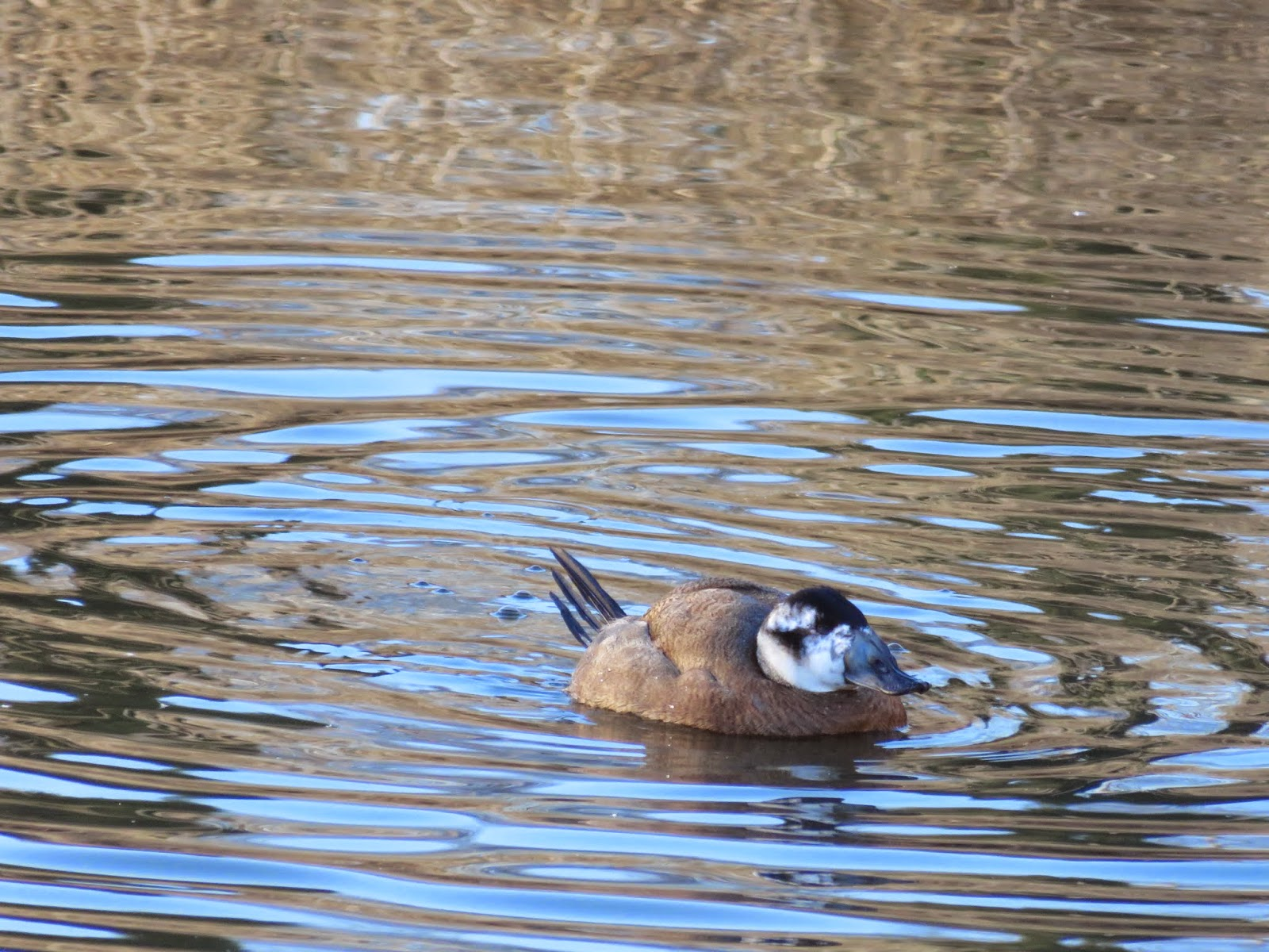 White-headed Duck at WWT London Wetland Centre