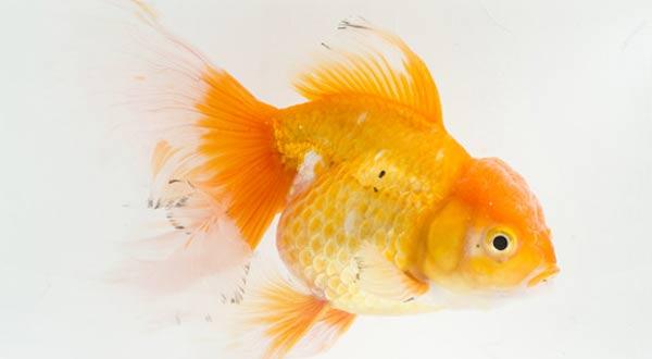 Mengatasi Ikan Mas Koki Diam Saja dan Tidak Mau Makan