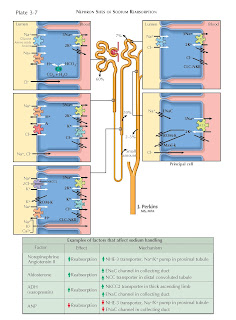 NEPHRON SITES OF SODIUM REABSORPTION