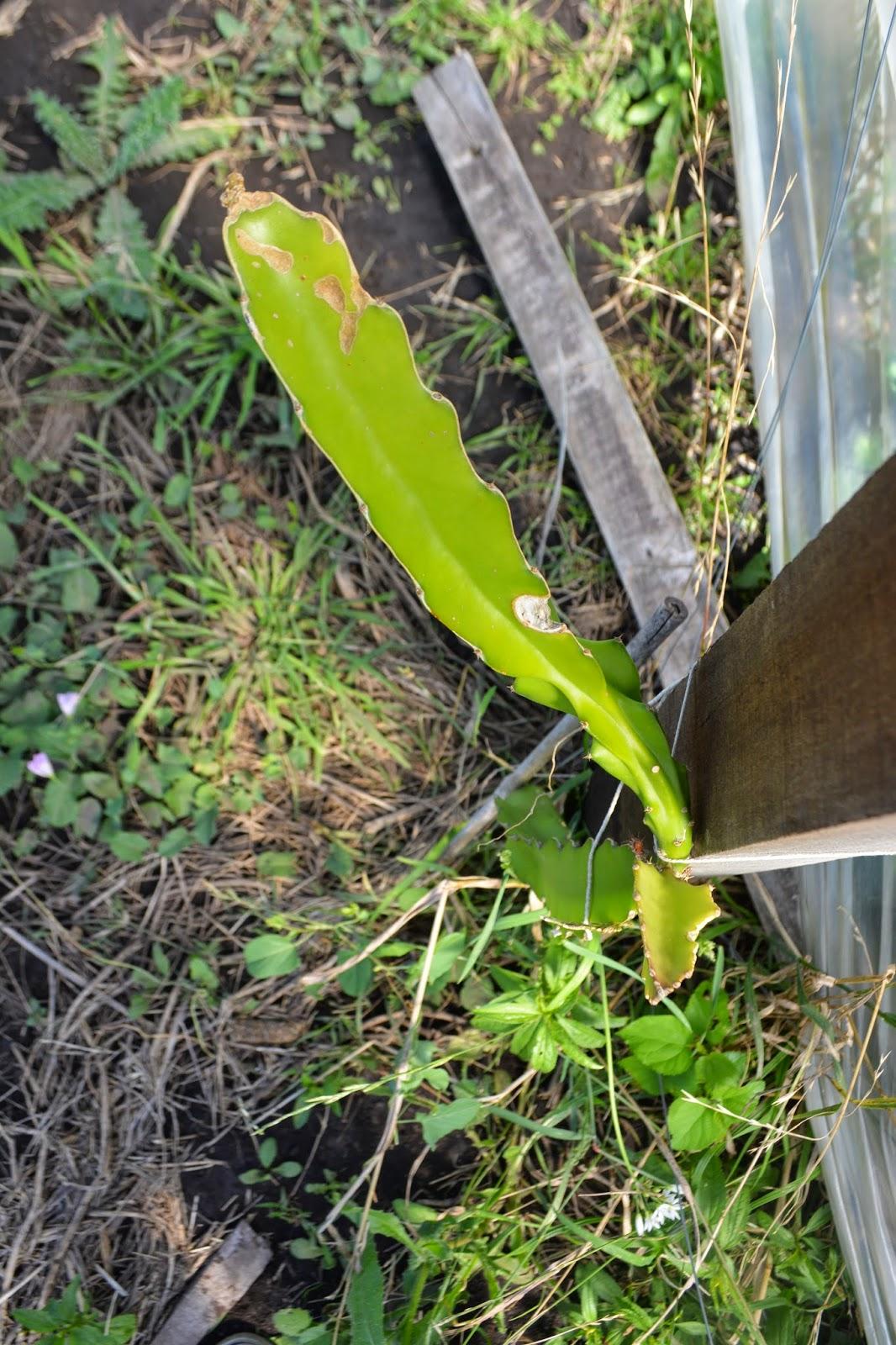 Fruto de dragón- cactus.