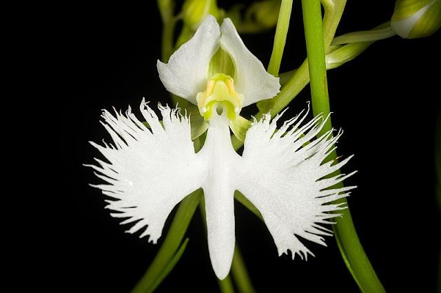 White Egret Flower - Pecteilis radiata