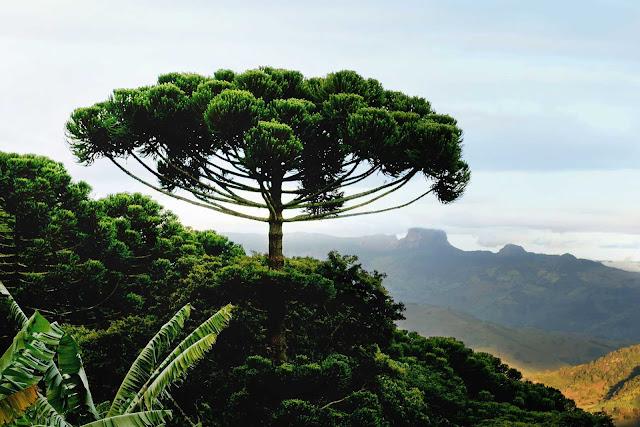 Araucária – a árvore brasileira do período Jurássico