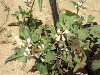flor de rúcula planta culinaria