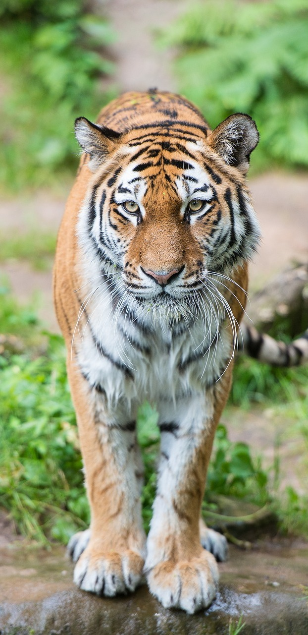 Photo of a tiger.