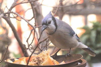 "This is a picture of a blue jay perching on the rim of a metal saucer that is in my garden. He appears to be looking at what is there which bits of fruit.  ""Blue jays are large for songbirds, typically measuring between 9 and 12 inches long, and weighing between 2.5 and 3.5 ounces. Distinguishing characteristics of the blue jay include the pronounced blue crest on their heads, which the blue jay may lower and raise depending on mood, and which will bristle outward when the bird is being aggressive or becomes frightened. Blue jays sport colorful blue plumage on their crest, wings, back, and tail. Their face is typically white, and they have an off-white underbelly. They have a black-collared neck, and the black extends down the sides of their heads - their bill, legs, and eyes are also all black. Their wings and tail have black, sky-blue, and white bars. Male and female blue jays are nearly identical."" (Info from https://forum.americanexpedition.us/blue-jay-facts). They are featured in my three volume book series, ""Words In Our Beak. Info re these birds is in another post on this blog @ https://www.thelastleafgardener.com/2018/10/one-sheet-book-series-info.html"