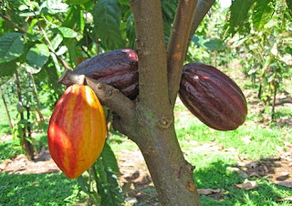 cara mengolah biji coklat secara tradisional,cara mengolah biji coklat sendiri,cara mengolah biji coklat mentah,cara mengolah biji coklat secara manual,cara mengolah biji coklat menjadi coklat,